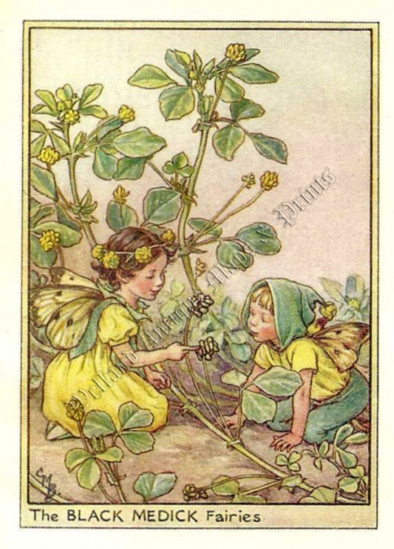 The Black Medick Fairies