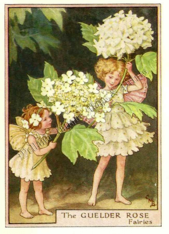 The Guelder Rose Fairies
