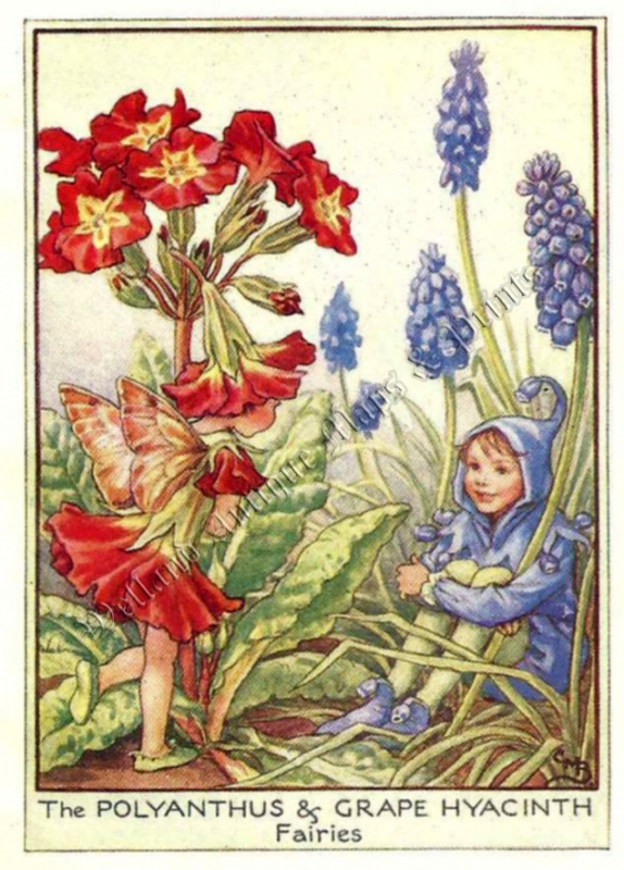 The Polyanthus and Grape Hyacinth Fairies