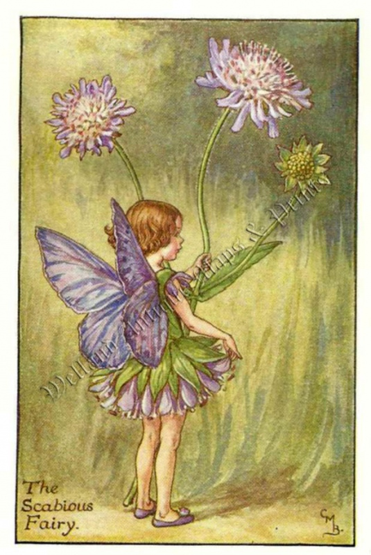 The Scabious Fairy