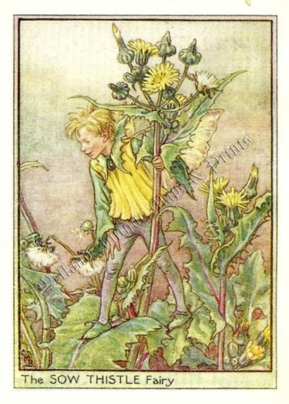 The Sow Thistle Fairy