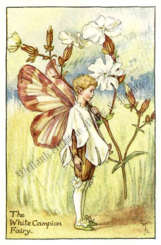 The White Campion Fairy